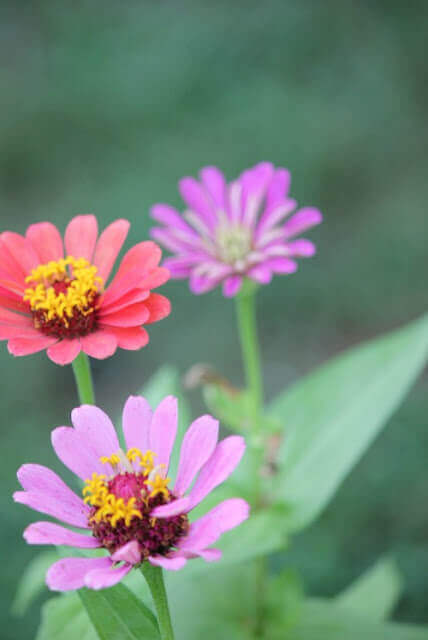 More zinnias in various colors are a part of the August blooms