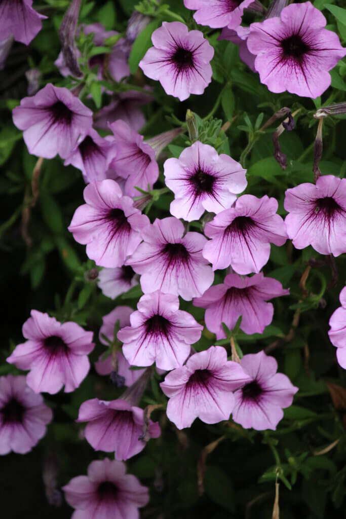 Light purple petunias are one of the best late summer flowers still blooming