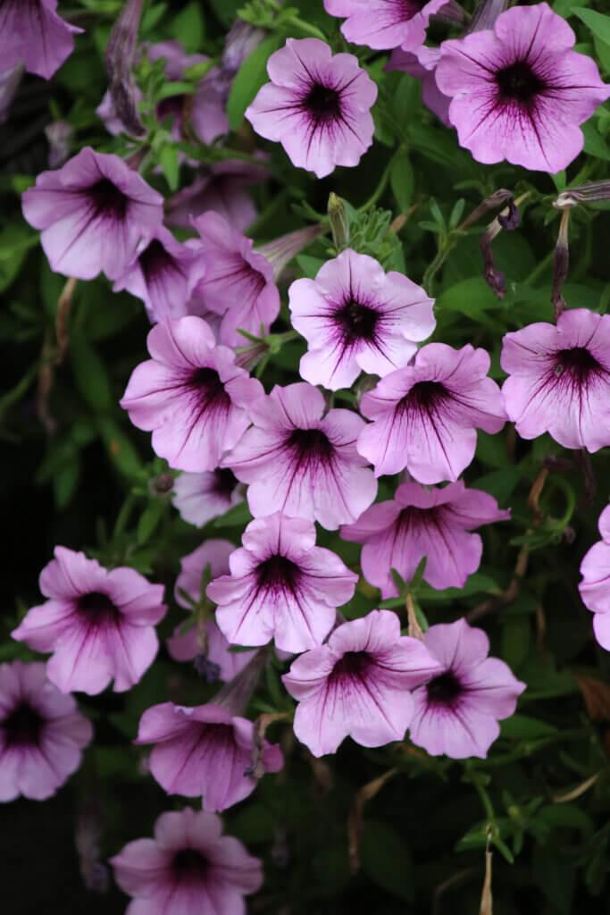 Light purple petunias in my patio container garden