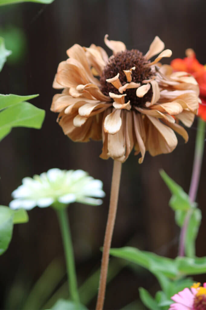 Some of my zinnias are dying. But they are still some of the best late summer flowers to plant.