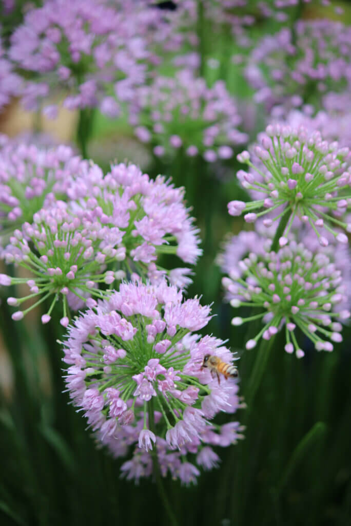 Bees love the allium flowers that is one of the best late summer flowers that are still blooming