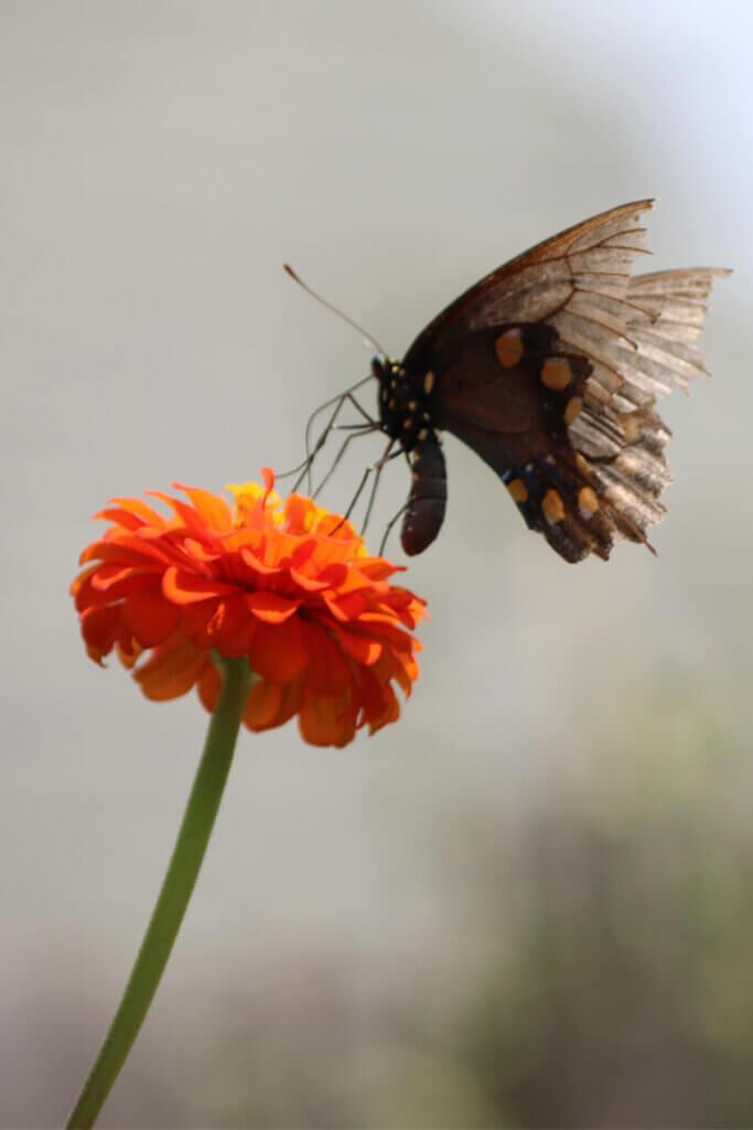 Butterflies love the summers late blooming flowers