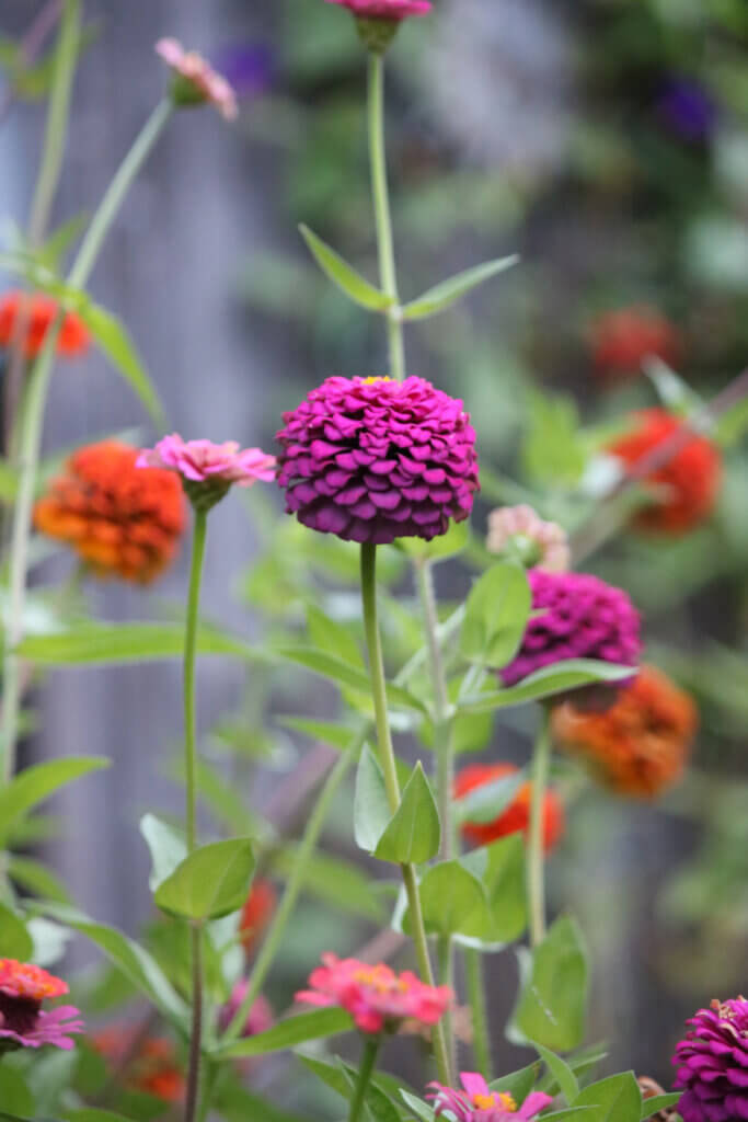 These multi-colored zinnias planted from seed are some of the best late summer flowers to plant.