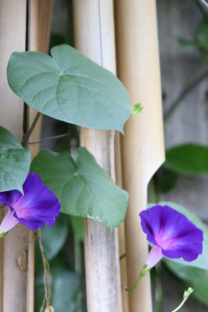 Wild purple morning glories are some of the best late summer flowers still blooming on my patio