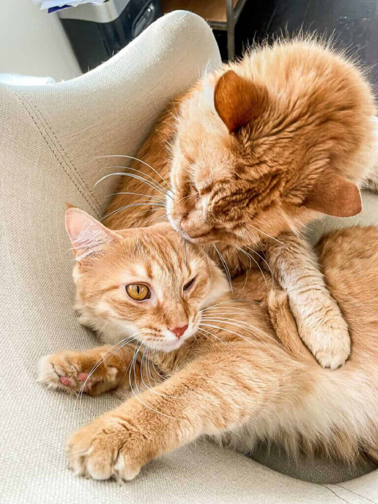 Cute orange marmalade cats in a blogger's Monday segment called Meow Monday in my new and notable mentions