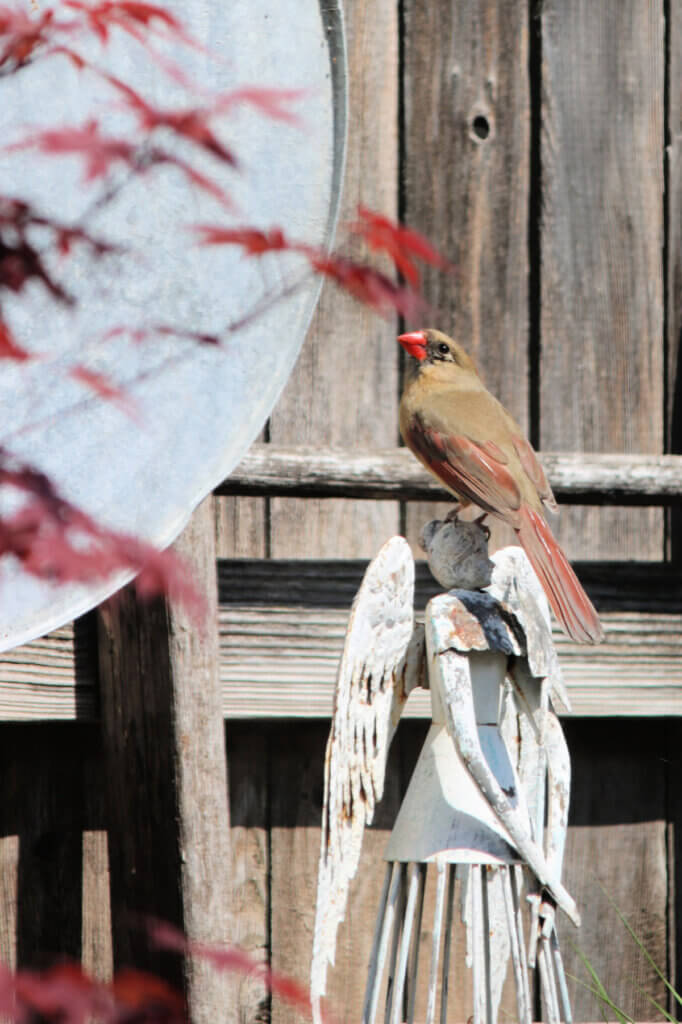 The female sings for food in fun facts about cardinals