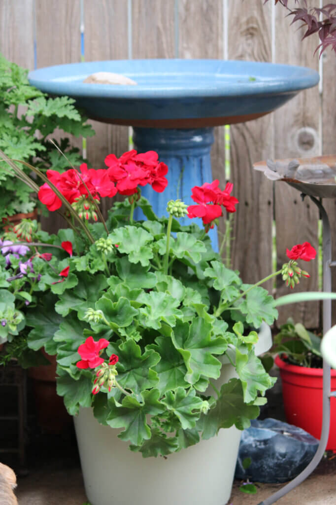 This is the blue bird bath I keep clean for the male and female cardinal to come drink and bathe in.