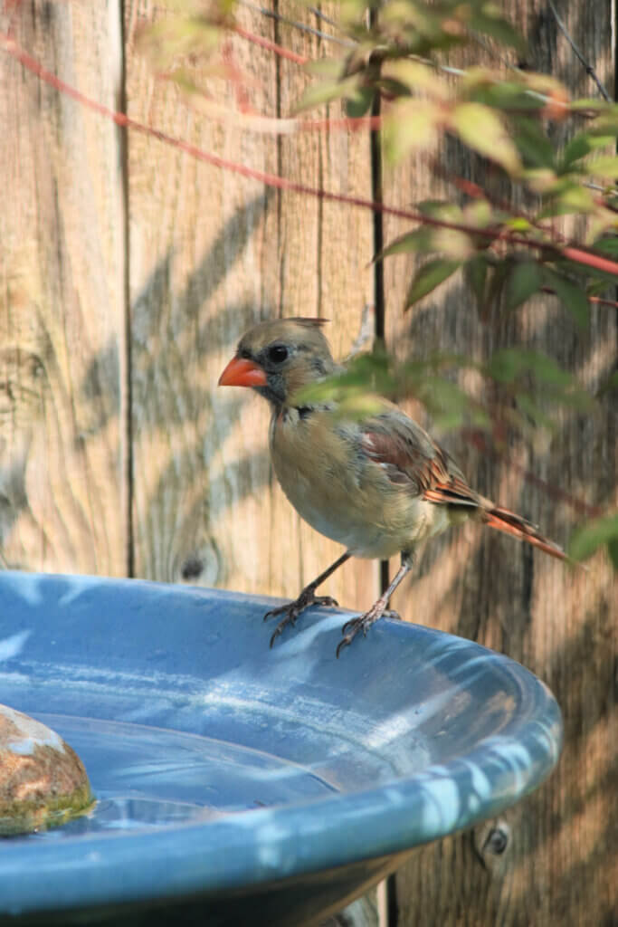 A female cardinal perches on the side of my blue bird bath on the patio