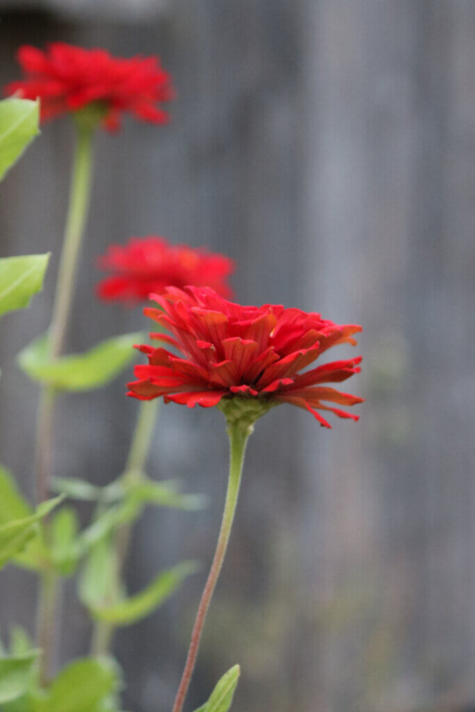 Red zinnias blooming on my patio