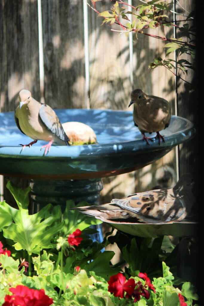 Mourning doves drinking from the bird bath and bathing in the water.