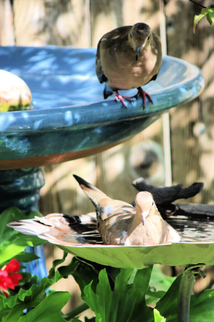 A gathering of mourning doves around my patio bird bath