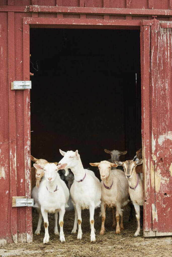 Goats gather at the barn door.